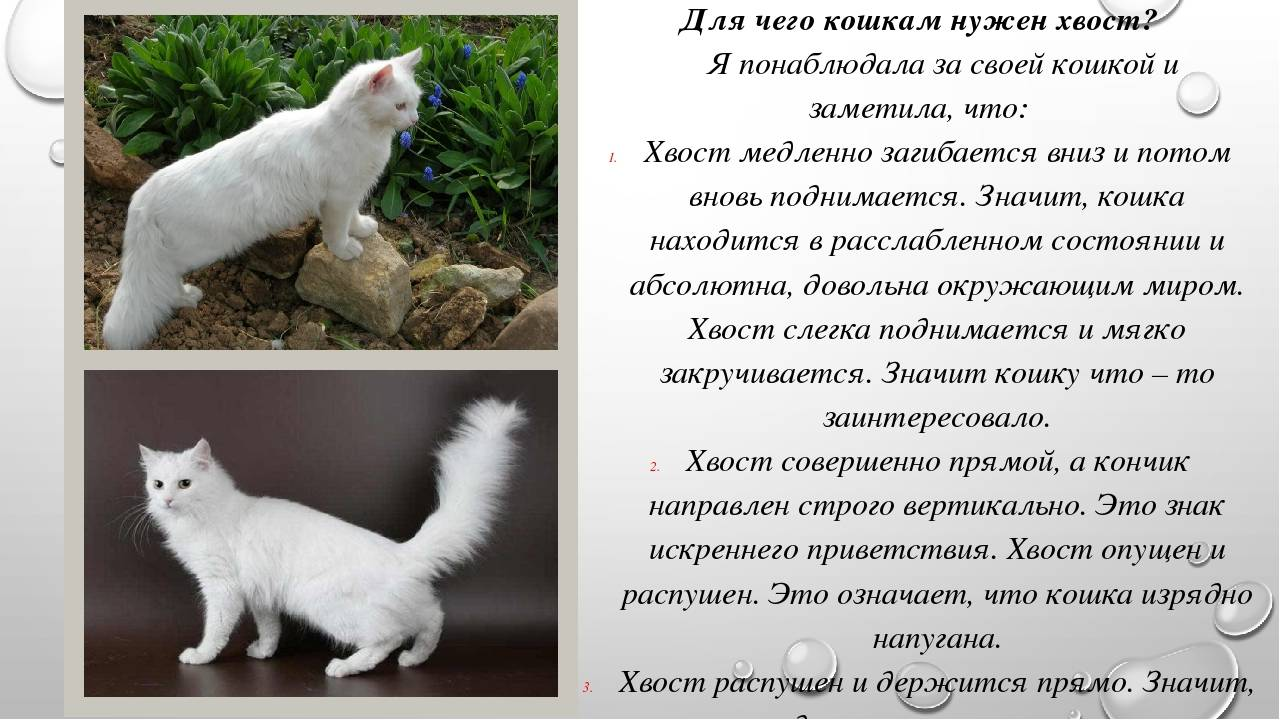 Зачем нужен хвост кошке? основные функции. видео