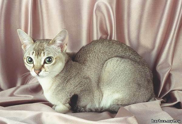 Самые маленькие кошки в мире: описание пород и рекордсмены