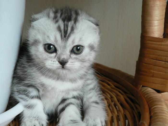 Имена и клички для шотландского котенка девочки имена и клички для шотландского котенка девочки