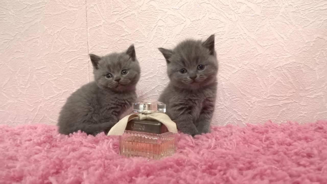 Шотландский котенок в 3 месяца: фото, чем кормить, вес и рост.