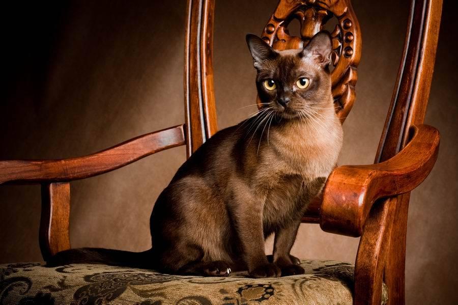 Бурманская кошка: фото, характер, описание породы, цены