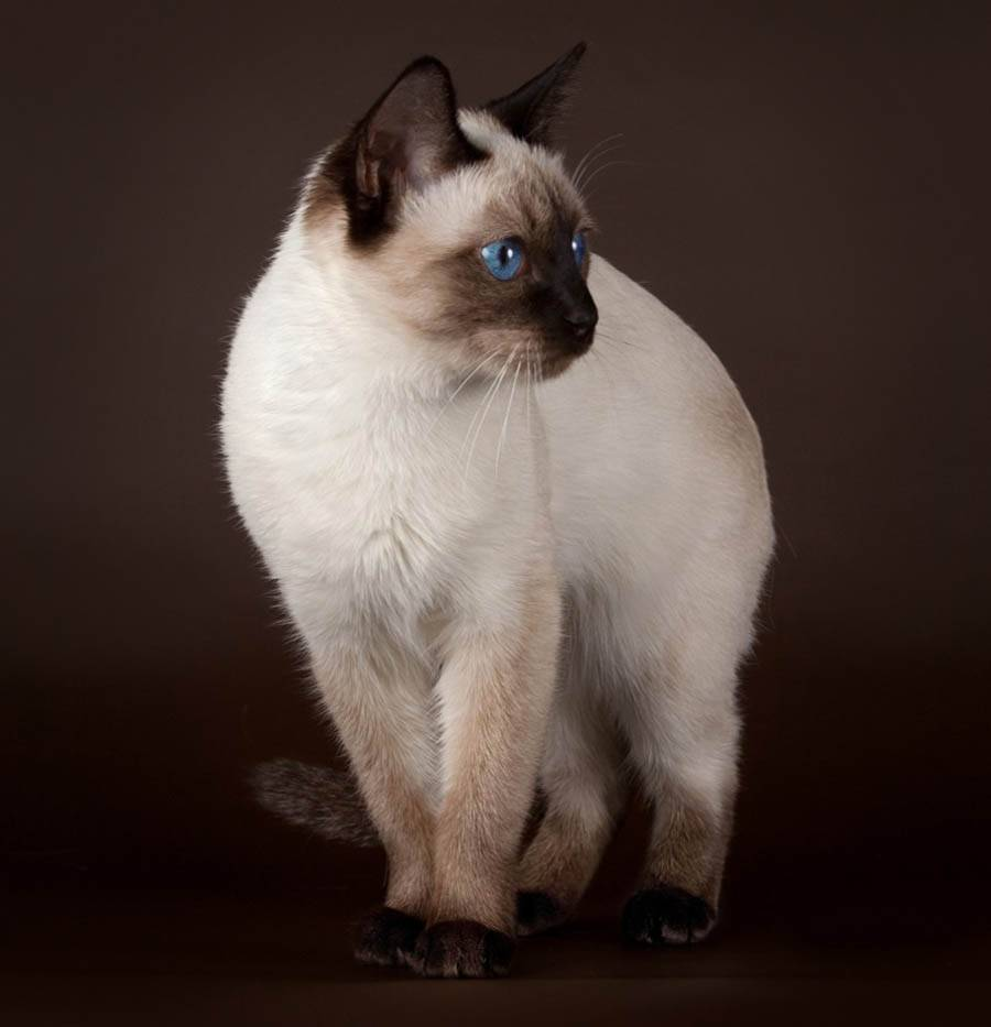 Сколько стоит тайская кошка?