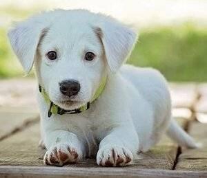 Яблоки для собак: можно или нельзя