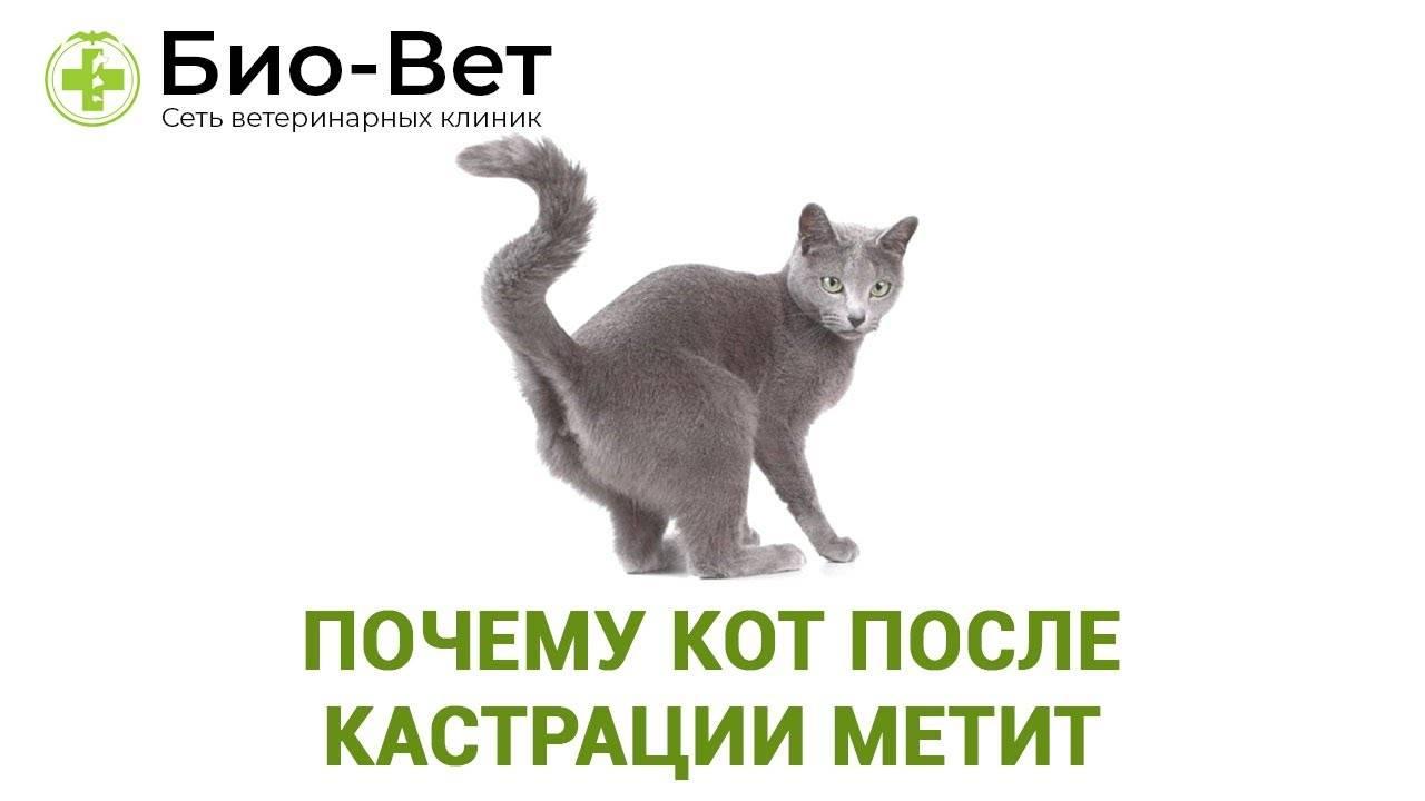 Метят ли кастрированные коты территорию: а если кот уже метил до кастрации?