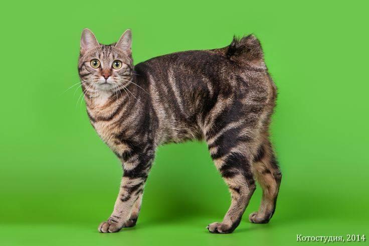 Курильский бобтейл: фото и описание породы, характеристика животного, близкие разновидности