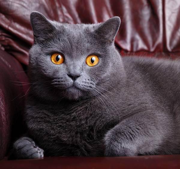 Как назвать британского котенка