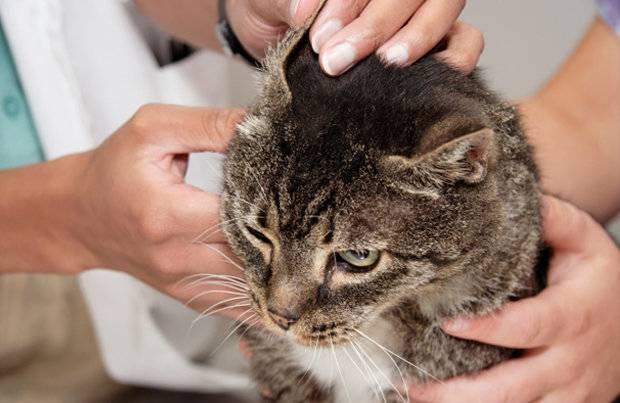 Чем лечить укус кошки