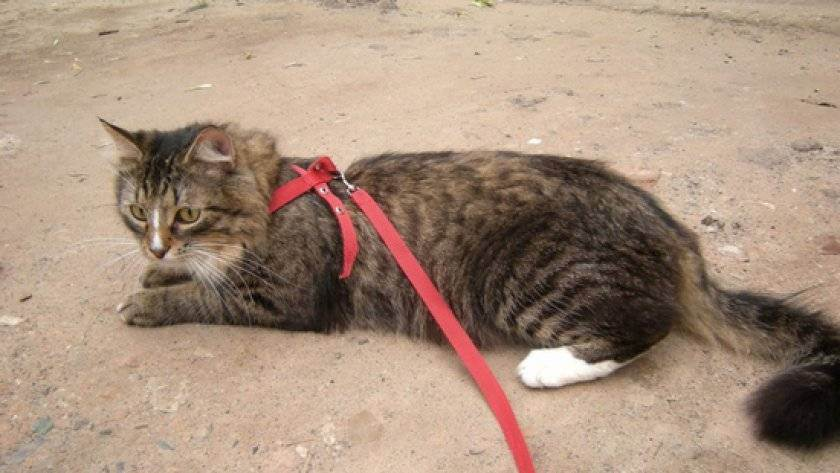 Приучаем кошку к поводку: пошаговая инструкция