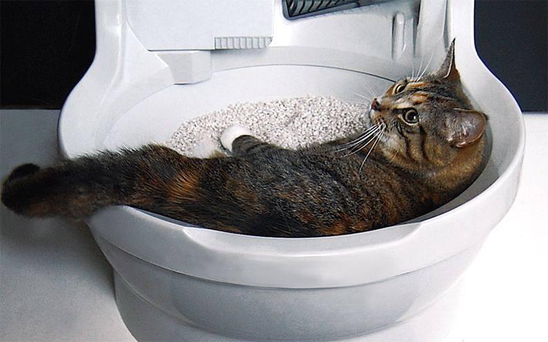 Почему котенок мяукает когда ходит в туалет? - zhivomag