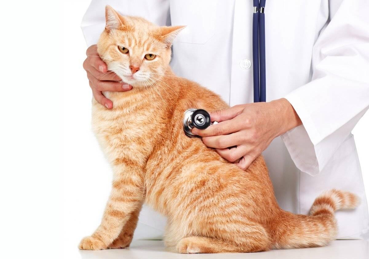 Идиопатический цистит у кошек причины появления и методы лечения