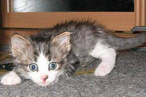 Кошка ест наполнитель для туалета.