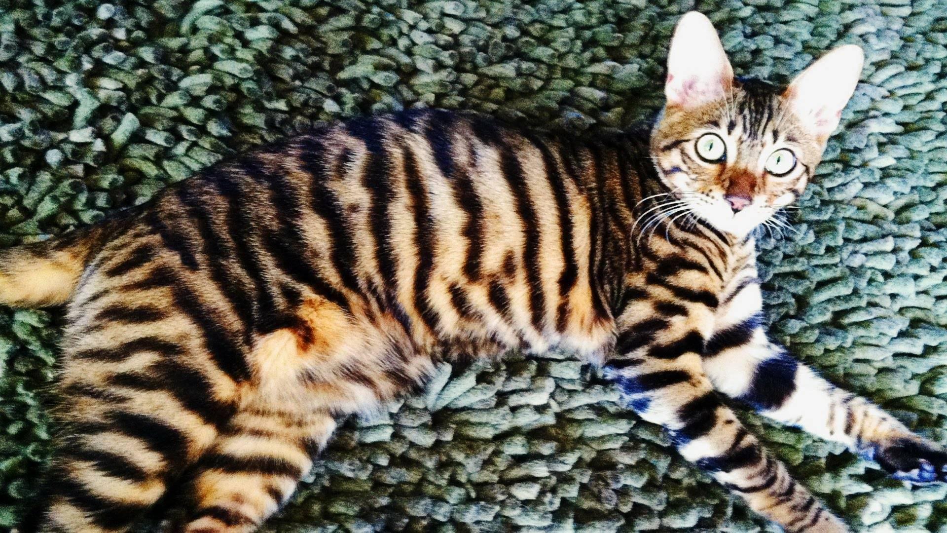 Полосатые коты - обзор русской породы кошек