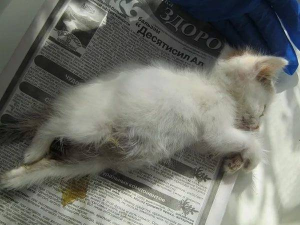 Непроходимость кишечника, запор и понос у кошек — что делать?
