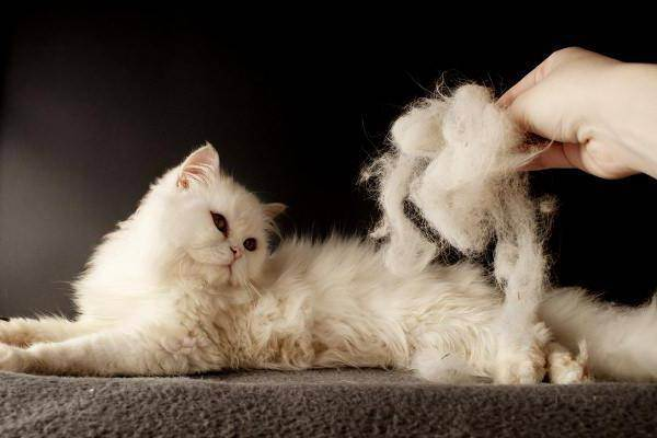 У британца лезет шерсть клочками. почему британская кошка сильно линяет