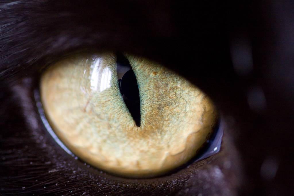 Почему у кошки и кота светятся глаза в темноте: особенности строения органа зрения у котят и взрослых животных, причины необычного явления