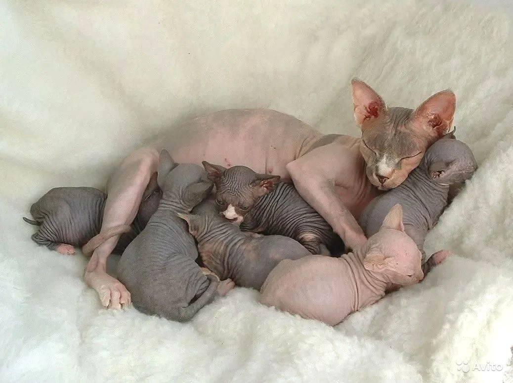 Первые признаки беременности у кошки сфинкса после вязки