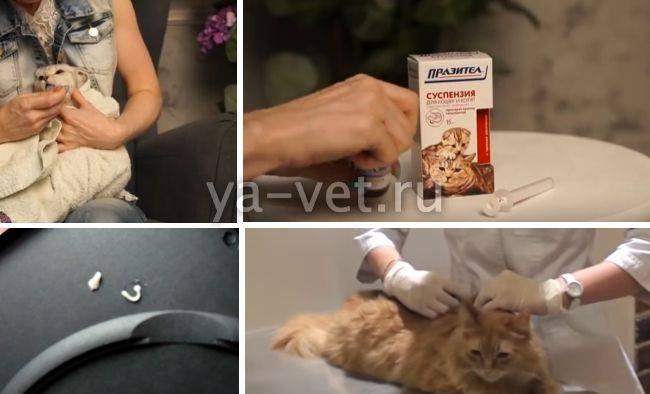 Огуречный цепень у кошек лечение народными средствами