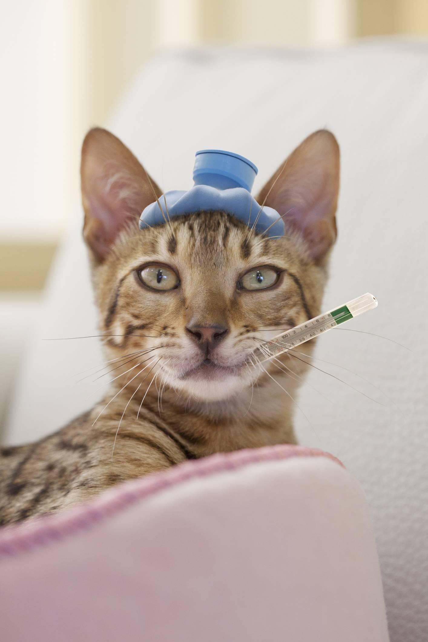 У кошки рвота что делать в домашних условиях: что дать от рвоты, наличие в рвоте крови или белой пены