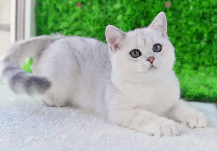 Золотая британская шиншилла (23 фото): описание шиншилловых британцев, характер золотистых кошек и котов. длинношерстные и короткошерстные котята