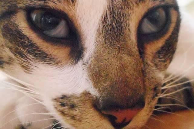 Лечение третьего века у кошек