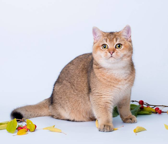Кошка шиншилла – породы, генетика и разновидности окраса, уход за шерстью