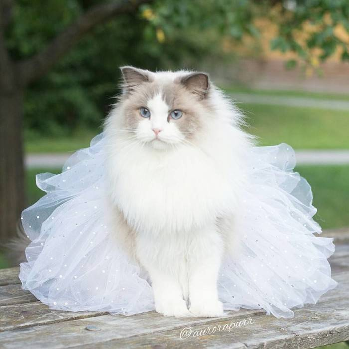 Полное описание породы кошек рэгдолл   все о животных