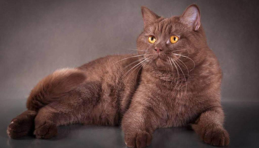 Британец шоколадный: окрас, фото котов