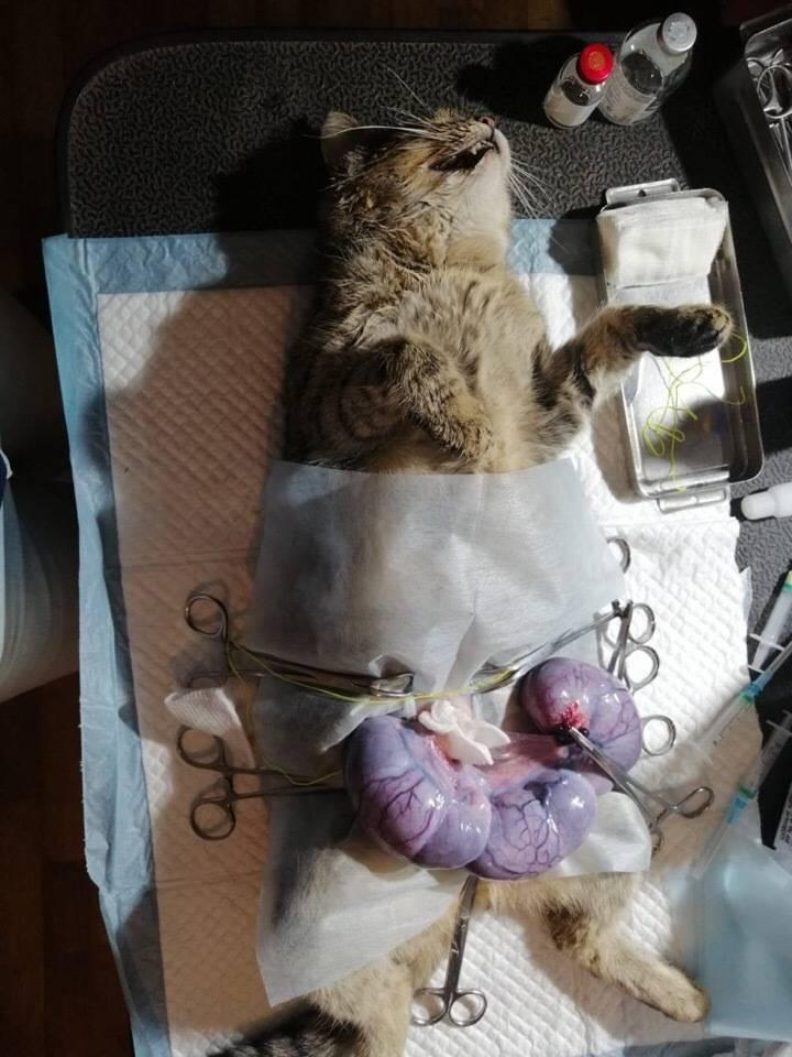 Стерилизация кошек и кастрация кота — нужна ли эта процедура?