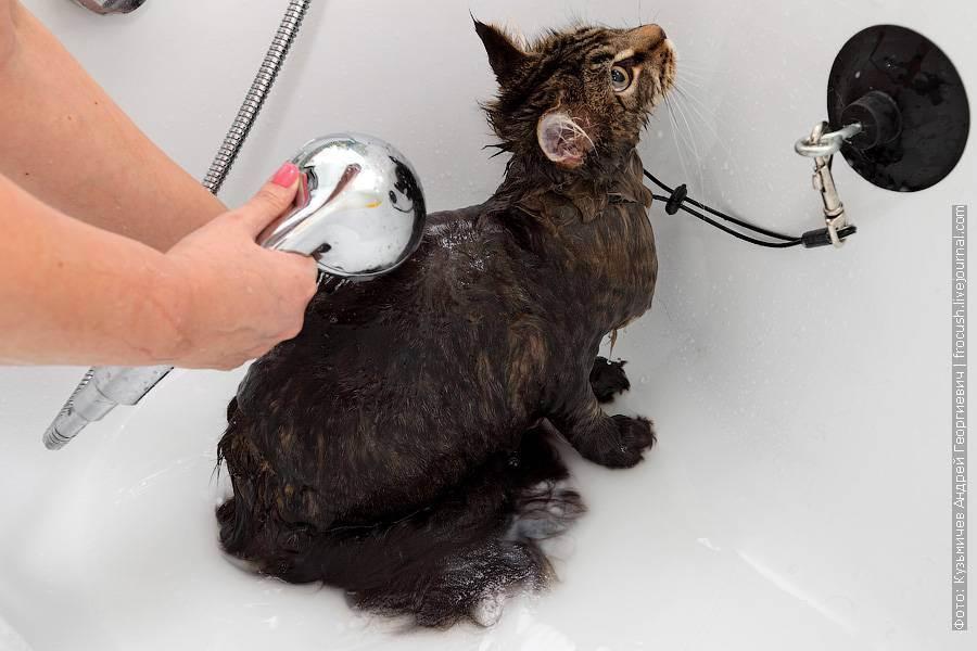 Мытье выставочных кошек