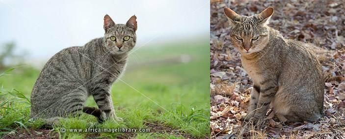 Самые большие дикие кошки