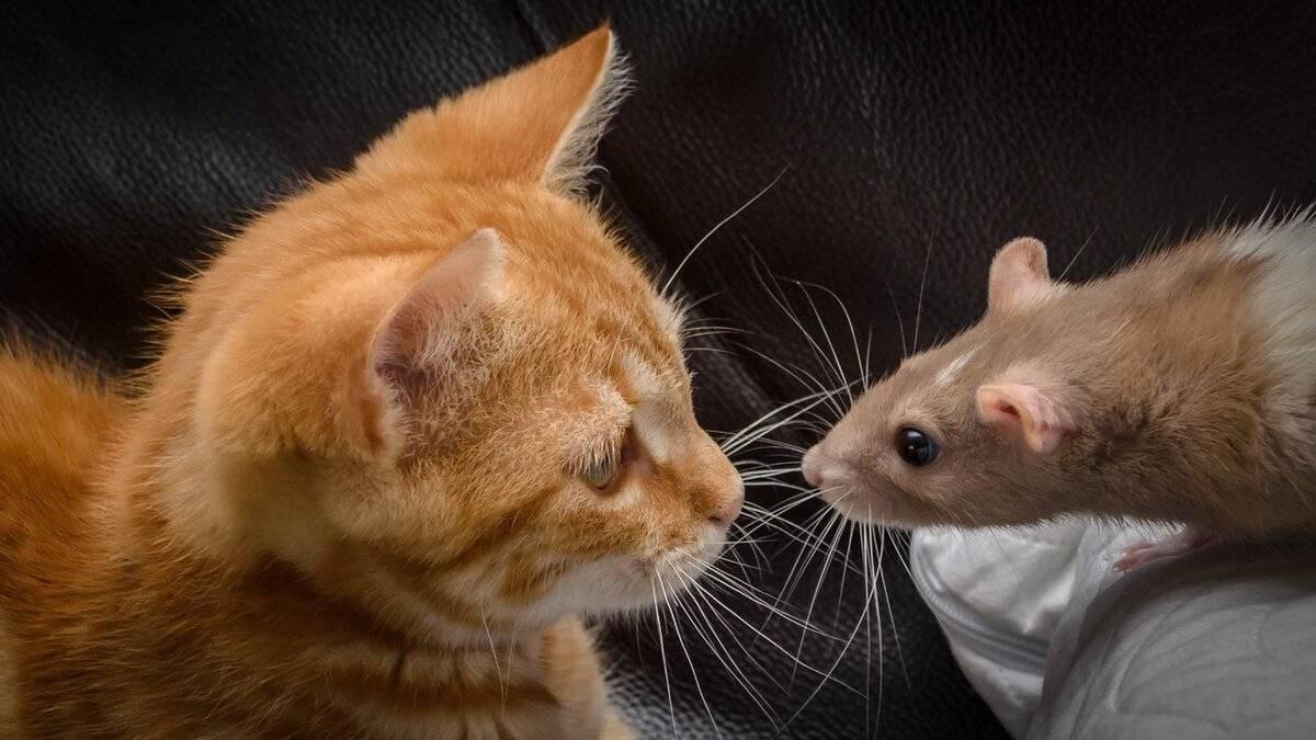 Как правильно спаривать кошек?