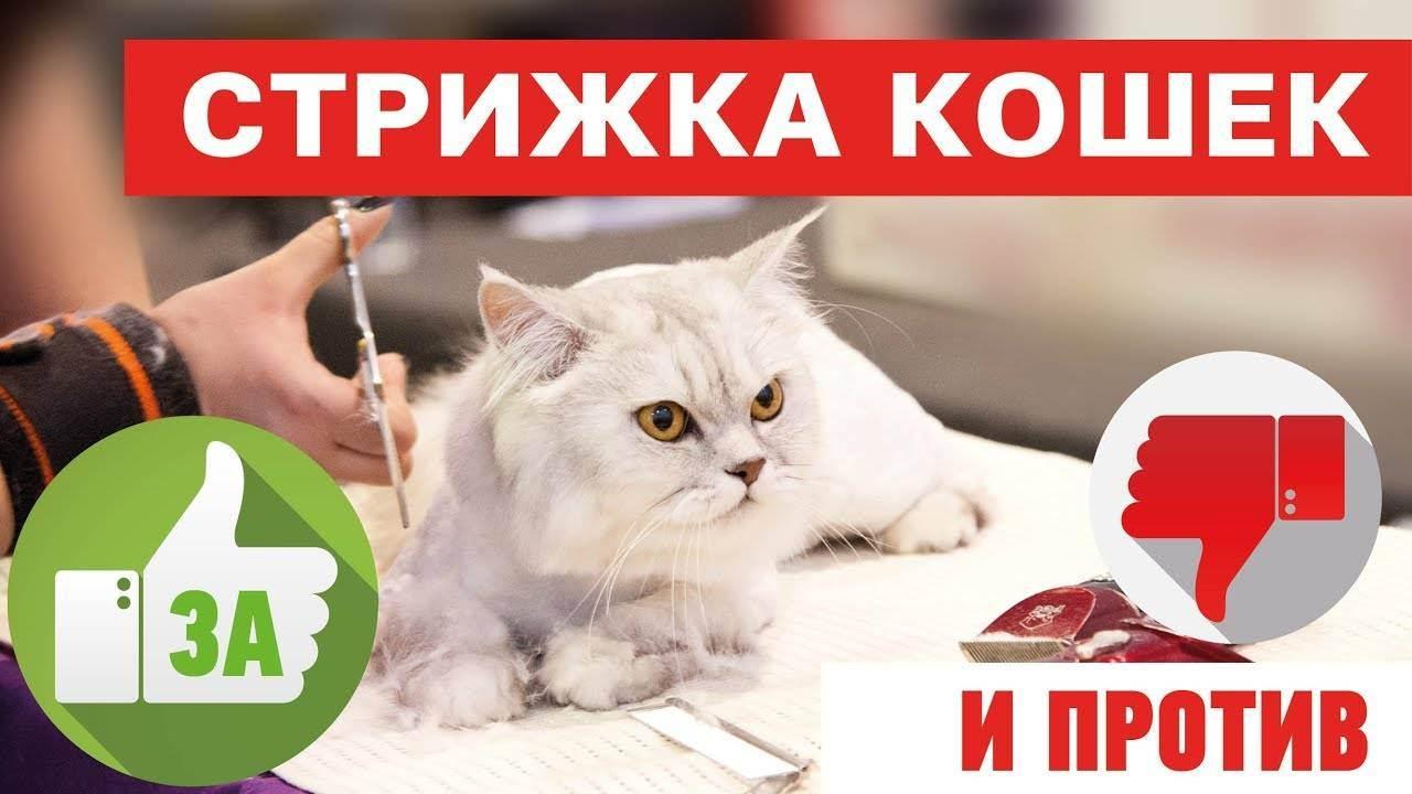 Нужно ли стричь кошек? - можно ли стричь кошек и нужна ли стрижка шерсти кошкам - всё о кошках и котах