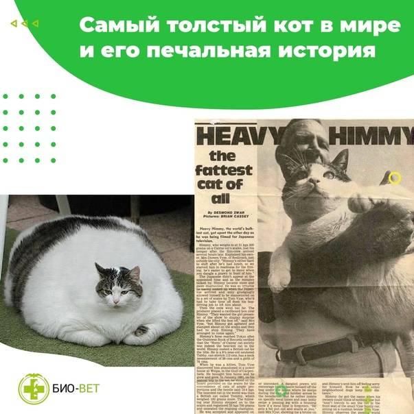 Сколько весит самый толстый кот в мире? топ самых больших котов в мире - новая медицина