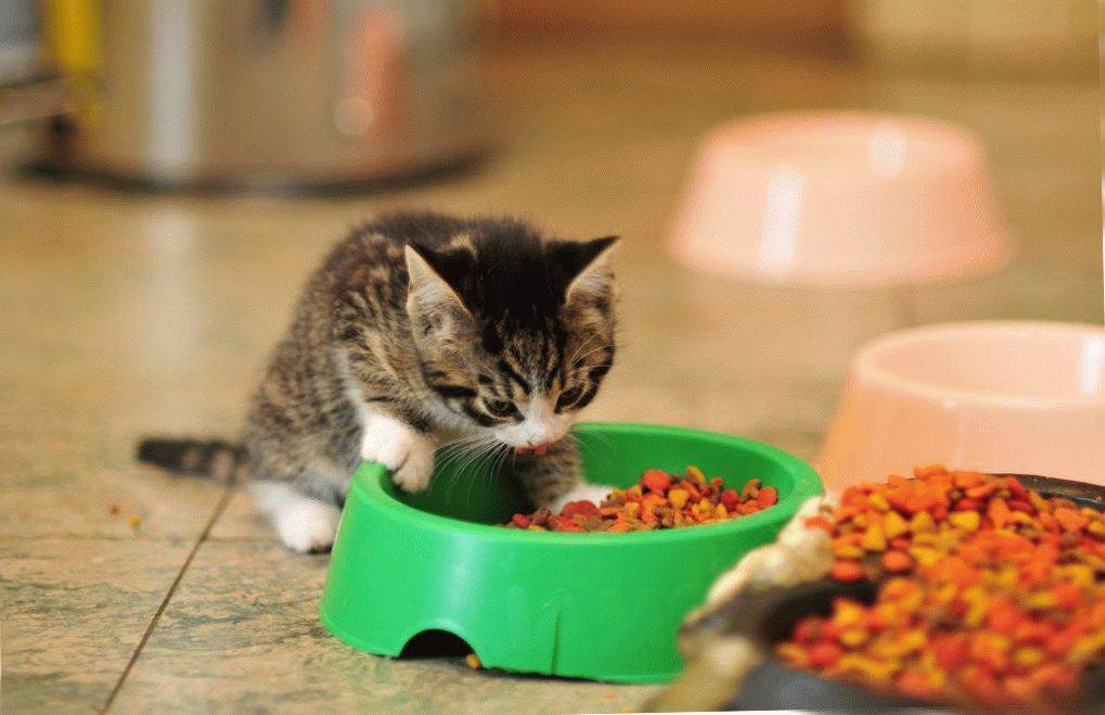 Советы ветеринаров и заводчиков, чем правильно кормить кошку, а что давать нельзя