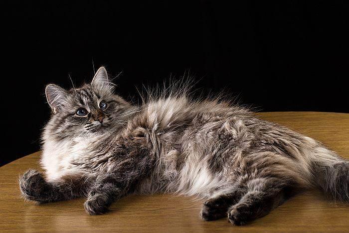 Как ухаживать за вислоухим шотландским котенком?