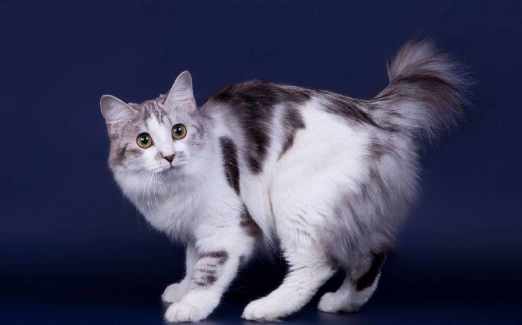 Порода кошек без хвоста, короткохвостых и с загнутыми назад ушами: названия, описание, фото