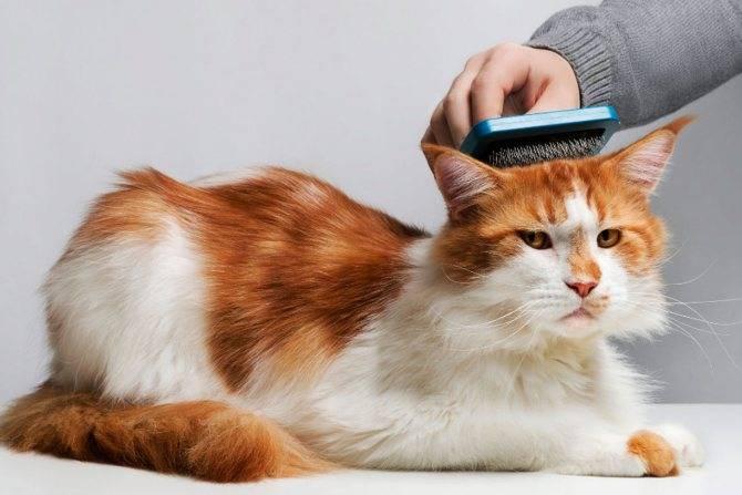 Сильно линяет кот британец: что делать, как ухаживать за шерстью, когда обратиться к врачу