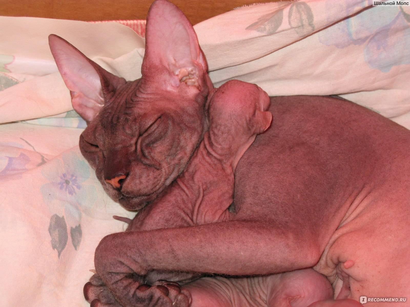 Как и сколько ходит беременной кошка породы сфинкс