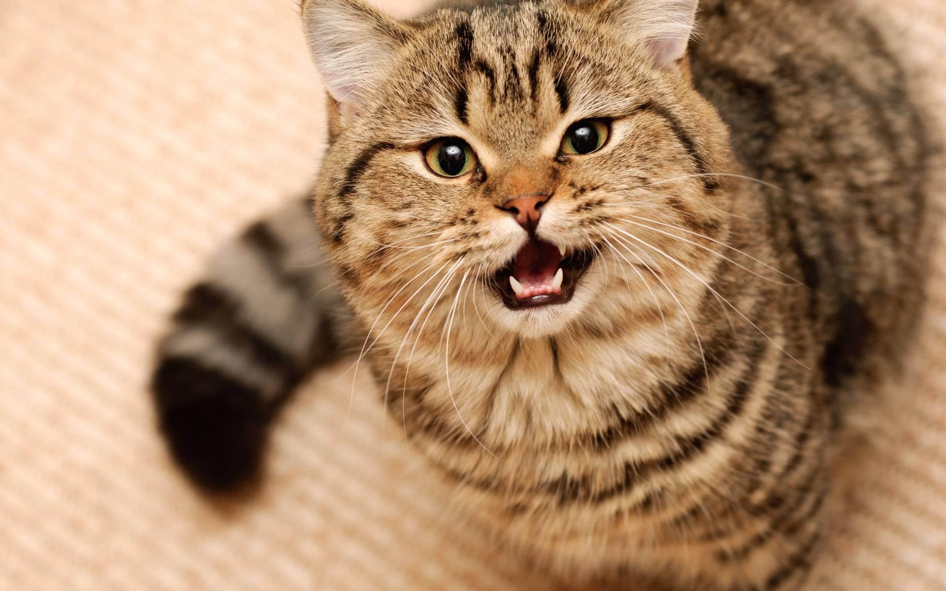 Волнение, болезнь, привлечение внимания: очемговорит беготня ибеспричинное мяуканье кота (2фото)