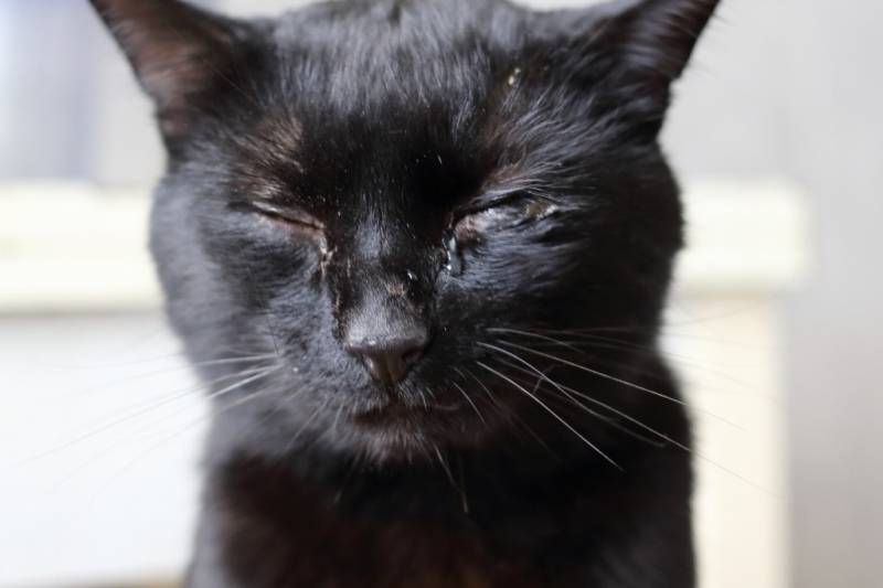 Варианты как можно помочь котенку если у него не открываются или слезятся глаза