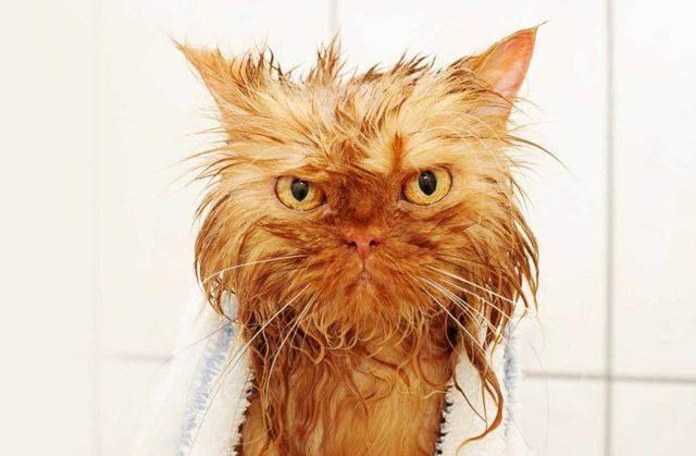 Кошка постоянно чешет уши и трясет головой: причины, чем лечить