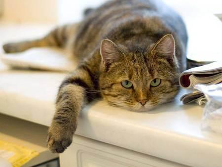 Причина сахарного диабета у кота