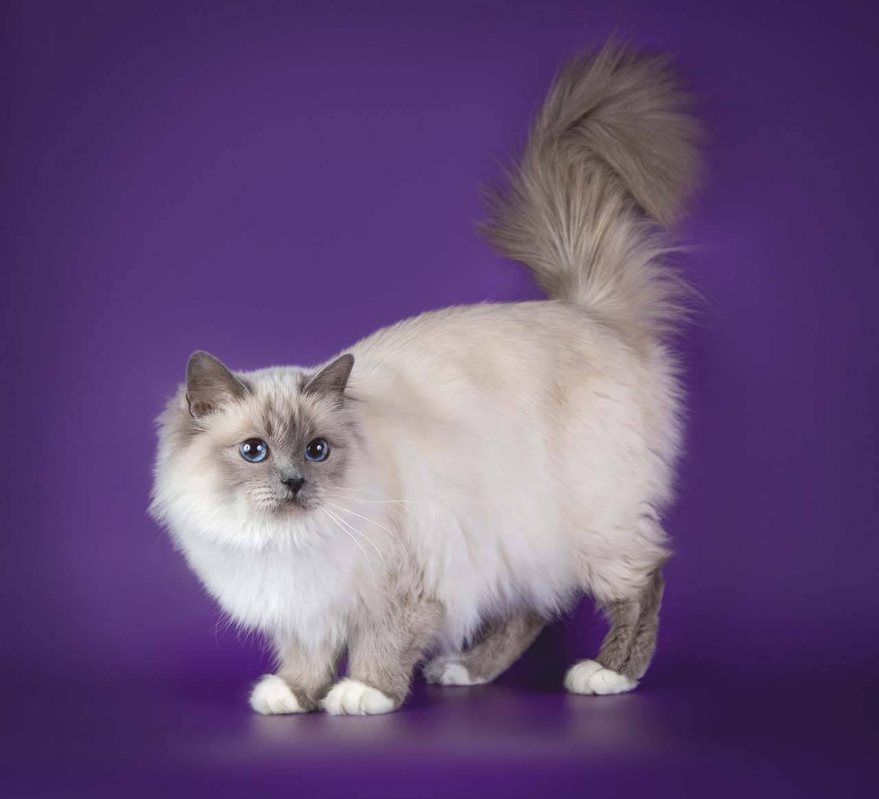 Описание характера бирманской породы кошки