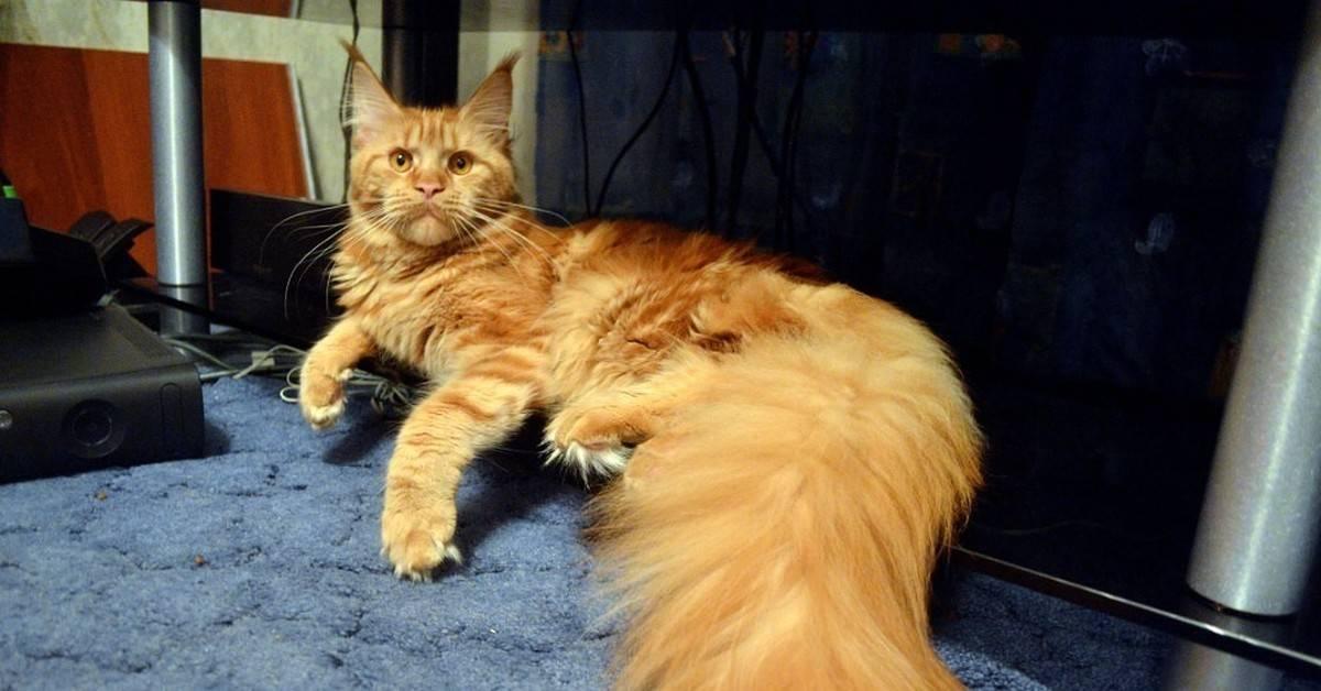 Уход за мейн-куном: питание, здоровье, содержание в квартире. характер котов. отзывы владельцев (фото) – соседки