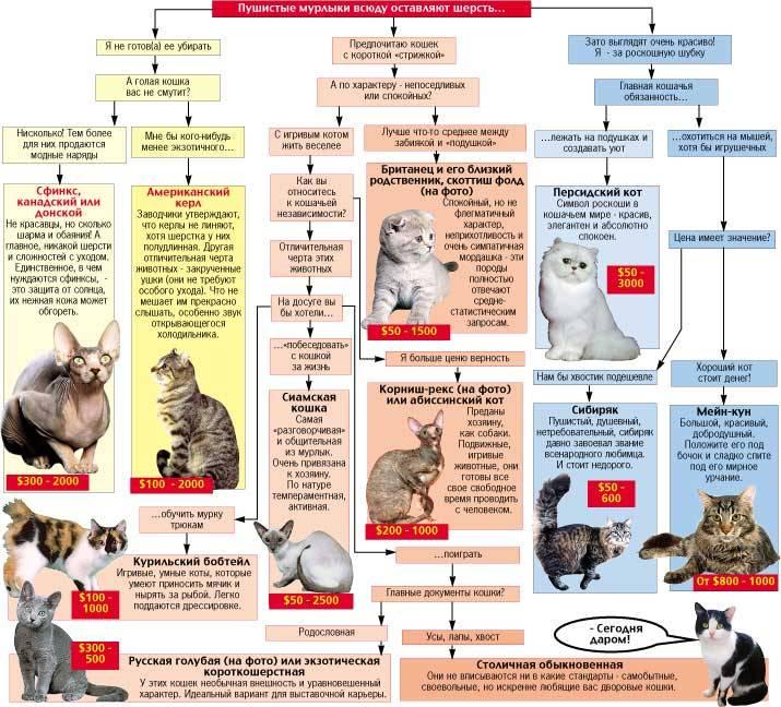 Американский керл: внешние особенности породы, уход и содержание, характер кошки, выбор котенка, отзывы владельцев, фото