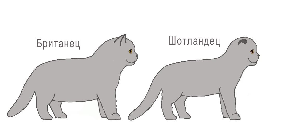 Как выбрать котенка британской кошки – советы и рекомендации