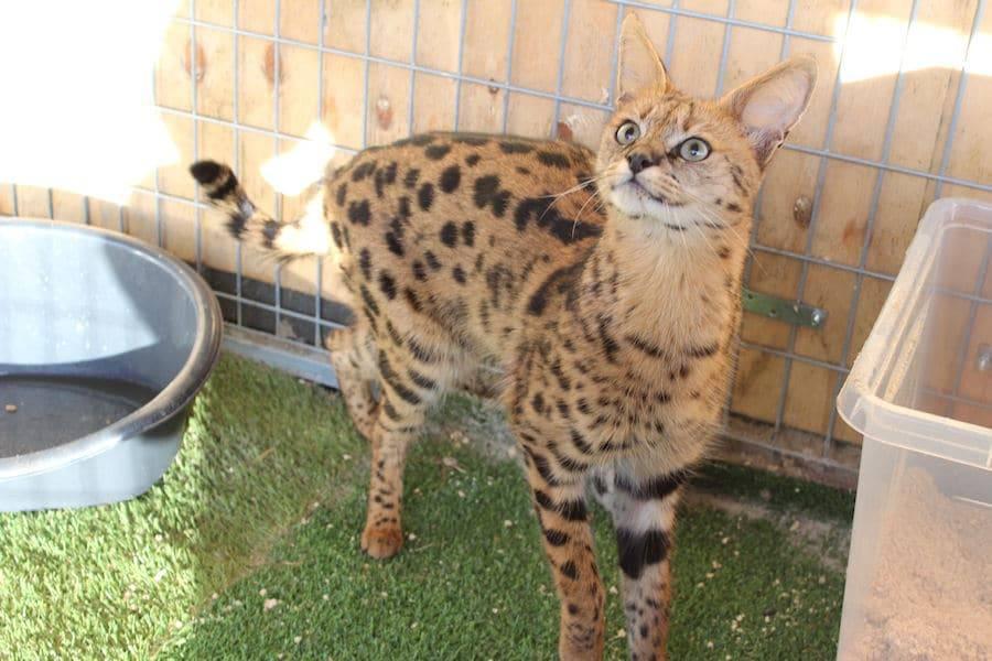 Правда ли, что кошка-саванна самая дорогая порода? особенности характера, описание