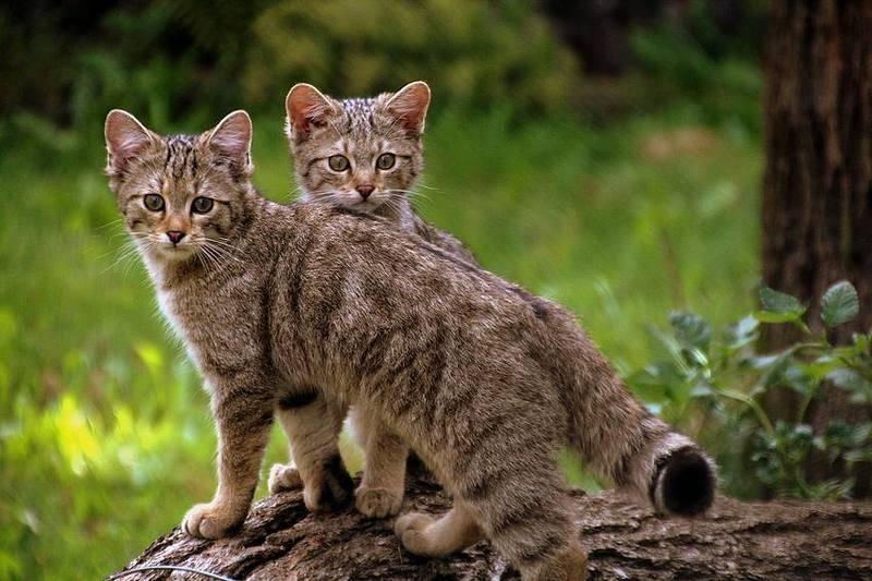 Как называют самую маленькую дикую кошку в мире