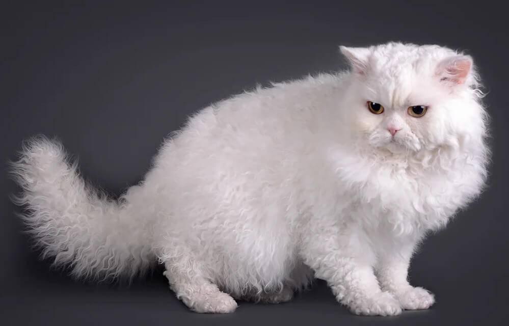 Селкирк-рекс: фото и описание породы короткошерстных и длинношерстных кошек, особенности содержания
