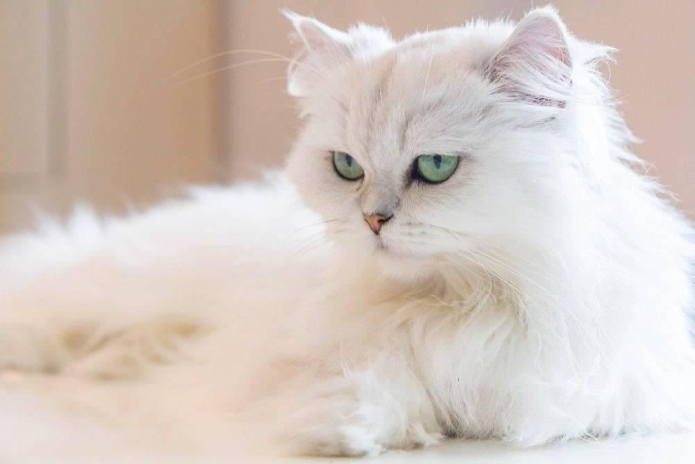 Пушистые породы кошек: весь список официально признанных питомцев (+ фото)